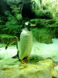 可愛いペンギンの写真・画像素材[1780867]