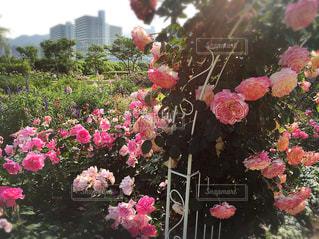 びわ湖大津館イングリッシュガーデンの薔薇の写真・画像素材[1780934]