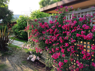びわ湖大津館イングリッシュガーデンの薔薇の写真・画像素材[1780938]
