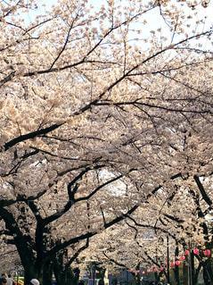 公園の桜の写真・画像素材[1782646]