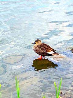 可愛い鴨の写真・画像素材[2937770]