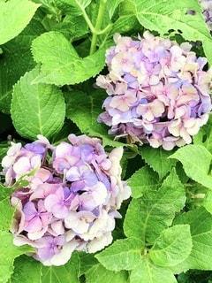 紫陽花の写真・画像素材[3370432]