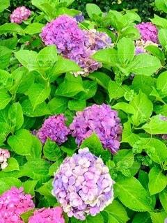 紫陽花の写真・画像素材[3370546]
