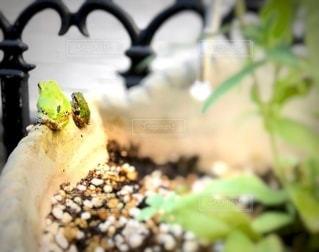 カエルの親子の写真・画像素材[3591479]
