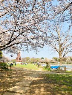 公園の桜の写真・画像素材[4286029]