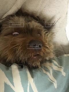 白目をむいて寝る犬の写真・画像素材[1262315]