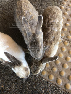 ウサギの写真・画像素材[1566111]