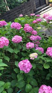 紫陽花畑の写真・画像素材[1262302]