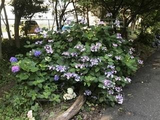 大きな紫色の花は、庭の写真・画像素材[1263840]