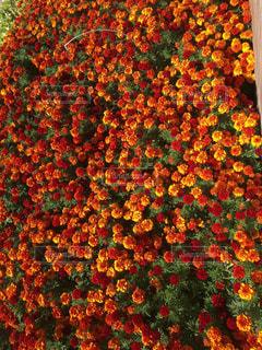 近くの花のアップの写真・画像素材[1706985]