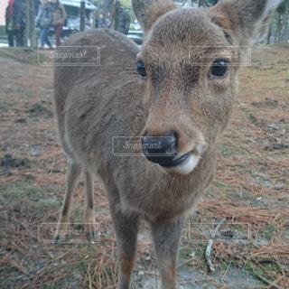 奈良のシカさんの写真・画像素材[1337275]