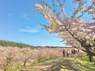 五稜郭公園の桜の写真・画像素材[1264736]