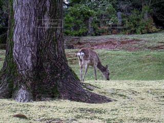春の奈良公園の写真・画像素材[1287837]