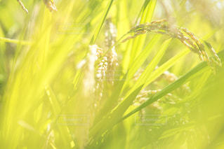 黄金色に輝く風景の写真・画像素材[1583949]