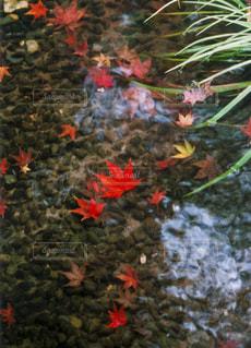 小川を流れていく紅葉の写真・画像素材[1598289]