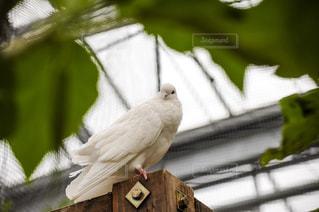 白鳩の写真・画像素材[1620375]