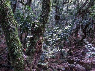 春日山原始林の写真・画像素材[1628591]
