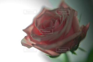 薔薇の写真・画像素材[1682502]