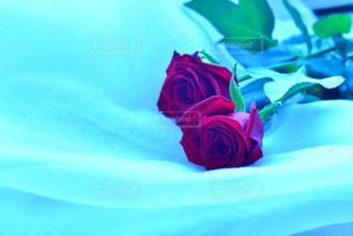 薔薇の写真・画像素材[1682503]