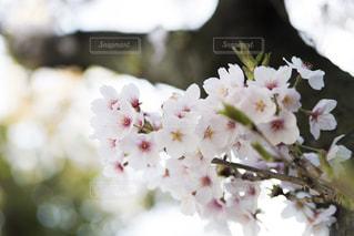 桜の写真・画像素材[1745310]