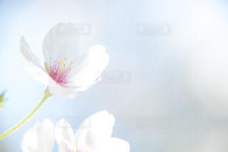 桜の花の写真・画像素材[1747507]