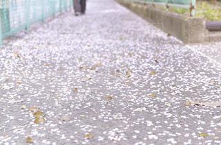 桜の花道の写真・画像素材[1747508]