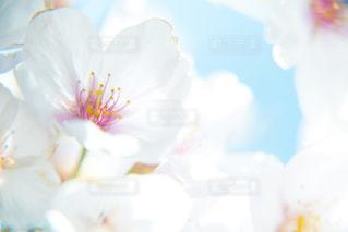 桜の写真・画像素材[1747509]