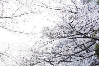 桜の写真・画像素材[1747510]
