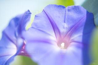 朝顔の花の写真・画像素材[1819615]