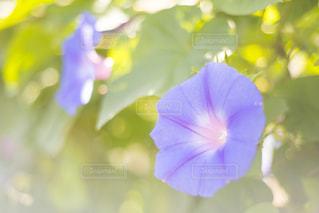 朝顔の花の写真・画像素材[1819616]