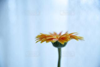 ガーベラの花の写真・画像素材[1886343]