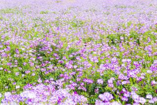 れんげ畑の写真・画像素材[2053680]