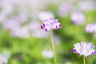 春を告げる花の写真・画像素材[2053682]