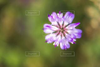 れんげの花の写真・画像素材[2053683]