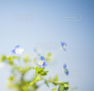 青い小さな花。の写真・画像素材[2059917]