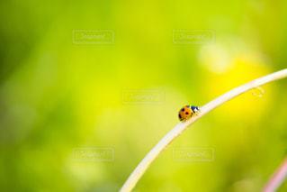 てんとう虫の写真・画像素材[2059921]