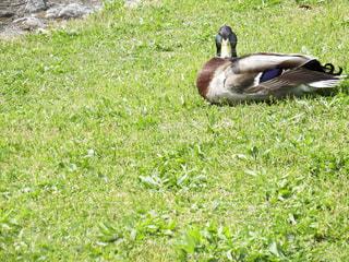 鴨川のカモの写真・画像素材[2060083]