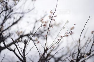 美しい梅の花の写真・画像素材[2940113]