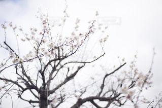 美しい梅の花の写真・画像素材[2940112]