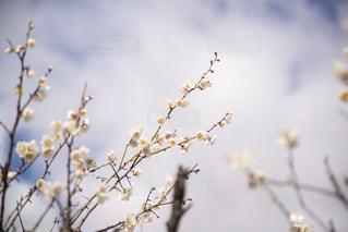 梅の花の写真・画像素材[2940109]