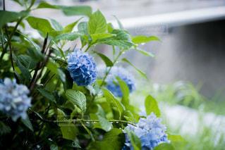 雨の日の紫陽花の写真・画像素材[3352817]