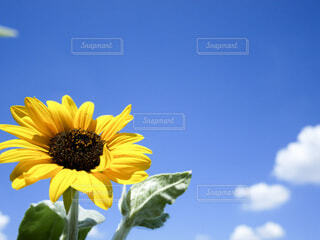 夏の終わりの向日葵の写真・画像素材[3696309]