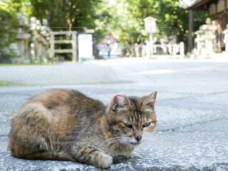 神社の境内にいた野良猫の写真・画像素材[3969339]
