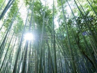 ひかり射す竹林の写真・画像素材[4394571]