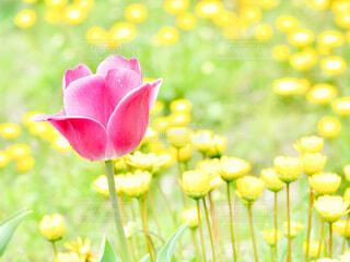 黄色の花に囲まれる、一輪の赤いチューリップの写真・画像素材[4512061]