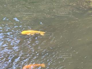 水の中を泳ぐコイの写真・画像素材[1266574]