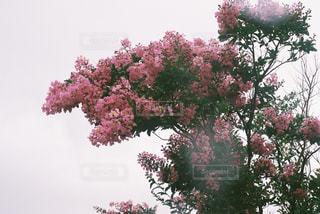木の上のピンクの花で一杯の花瓶の写真・画像素材[1265177]