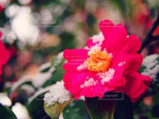 雪と椿 - No.1265953