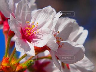 桜 - No.1265975