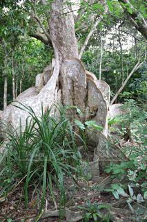 大きな木の根の写真・画像素材[1267753]